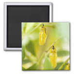 Cocoon of Paper Kite Butterfly, Okinawa Fridge Magnet