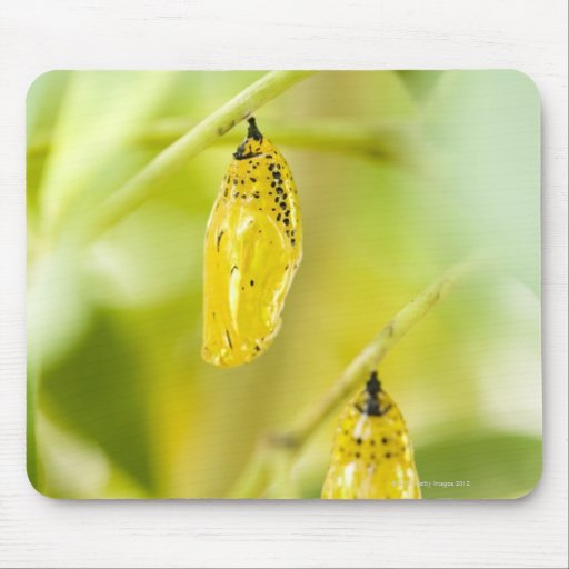 Cocoon of Paper Kite Butterfly, Okinawa Mousepad