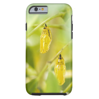 Cocoon of Paper Kite Butterfly, Okinawa Tough iPhone 6 Case