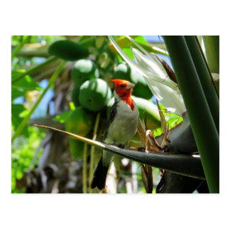 Cocos cardinales de la ave del paraíso de Hawaii Tarjeta Postal