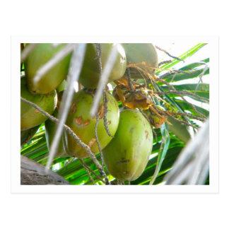 Cocos en Palmtree Tarjetas Postales