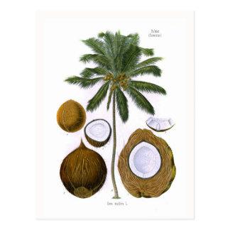 Cocos nucifera (coconut palm) post card