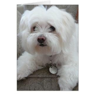 Cody, adorable Maltese on chair #1 Card