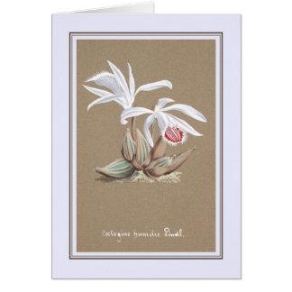 Coelogyne humilis card