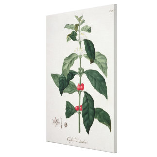 Coffea Arabica from 'Phytographie Medicale' by Jos Canvas Print