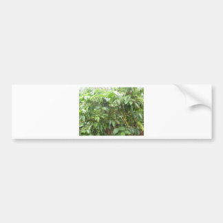 Coffea Canephora Bumper Sticker