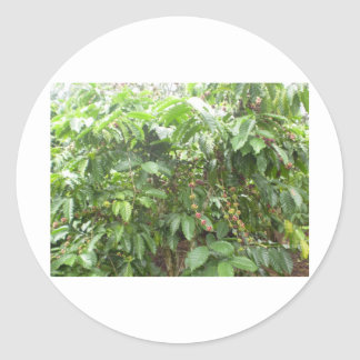 Coffea Canephora Pegatina Redonda
