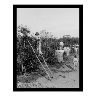 Coffee Berry Pickers in Brazil 1911 Posters