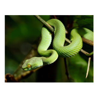 Coiled Green Tree Snake Postcard