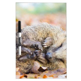 Coiled hedgehog lying on leaves in fall season Dry-Erase board