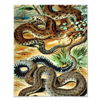 Coiled Snakes Vintage Illustration Photographic Print