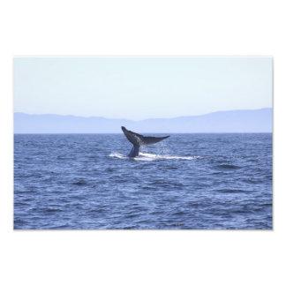 Cola de la ballena azul cojinete