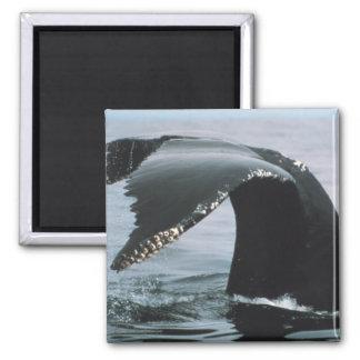 Cola de la ballena jorobada imán cuadrado