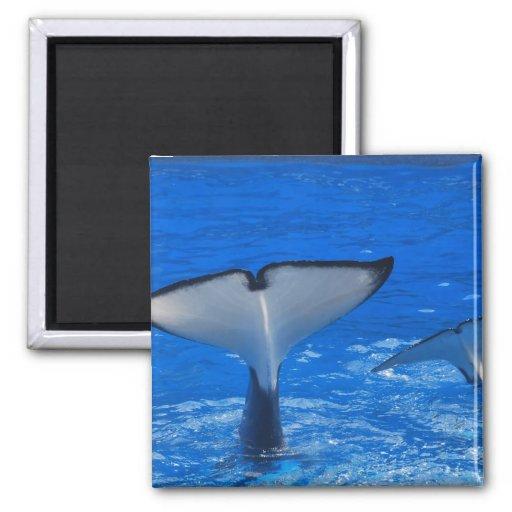 Cola de un imán de la ballena