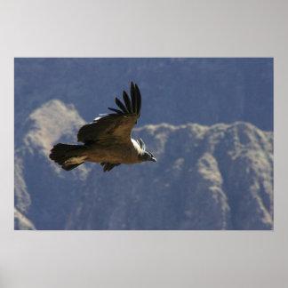 Colca Canyon Condor Poster