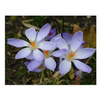 Colchicum autumnale postcard