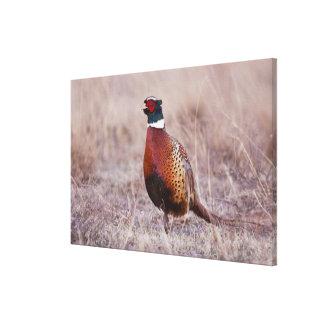 colchicus Anillo-necked del Phasianus del faisán) Impresion De Lienzo
