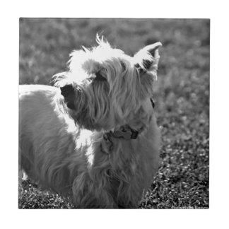 Colección adorable de Westie Terrier Azulejo Cuadrado Pequeño
