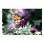 Colección de la mariposa de monarca - postal