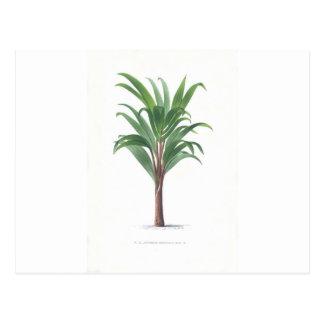 Colección de la palma - dibujo III Postal