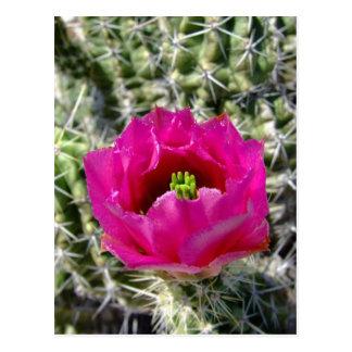 Colección rosada de la flor del cactus de erizo tarjeta postal