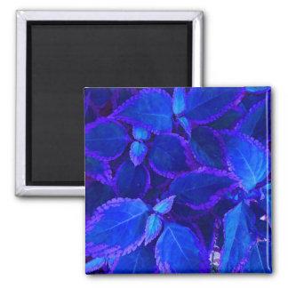 Coleo colorized azul de la planta imán cuadrado
