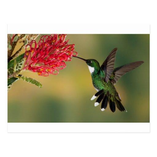 colibrí 1.jpg tarjetas postales