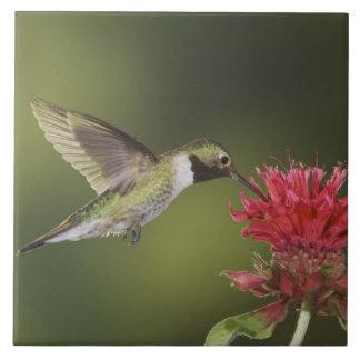 colibrí Amplio-atado, Selasphorus 2 Azulejo Cuadrado Grande