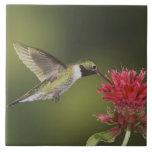 colibrí Amplio-atado, Selasphorus 2 Azulejos