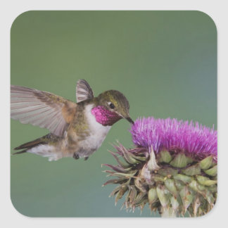 colibrí Amplio-atado, Selasphorus 2 Pegatina Cuadrada