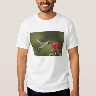 colibrí Amplio-atado, Selasphorus 2 Polera