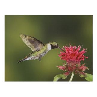 colibrí Amplio-atado Selasphorus 2 Tarjetas Postales