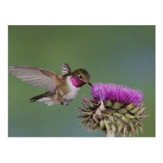 colibrí Amplio-atado, Selasphorus 2 Tarjeta Postal