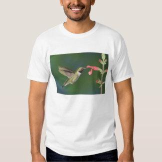 colibrí Amplio-atado, Selasphorus 4 Playeras