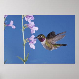 colibrí Amplio-atado, Selasphorus Poster