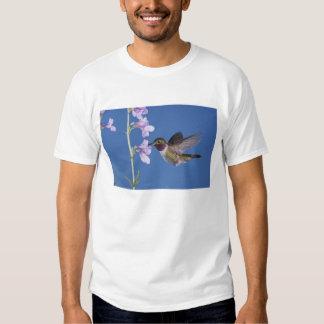 colibrí Amplio-atado, Selasphorus Playera