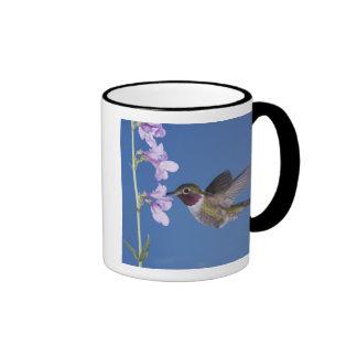 colibrí Amplio-atado, Selasphorus Taza A Dos Colores