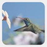 colibrí Amplio-cargado en cuenta, Cynanthus 2 Pegatina Cuadrada