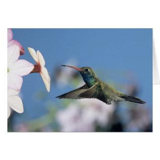 colibrí Amplio-cargado en cuenta, Cynanthus 2 Tarjeta