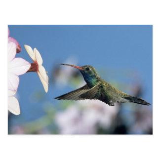 colibrí Amplio-cargado en cuenta, Cynanthus 2 Tarjetas Postales