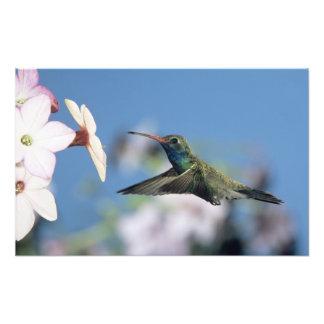 colibrí Amplio-cargado en cuenta, Cynanthus Cojinete