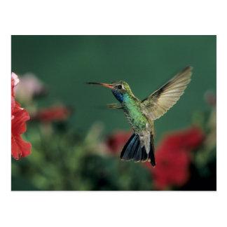 colibrí Amplio-cargado en cuenta, Cynanthus Tarjetas Postales