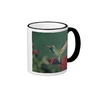 colibrí Amplio-cargado en cuenta, Cynanthus Taza De Dos Colores