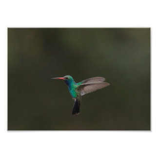 colibrí Amplio-cargado en cuenta en vuelo Fotografías