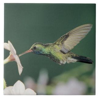 colibrí Amplio-cargado en cuenta latirostris de C Azulejos Cerámicos