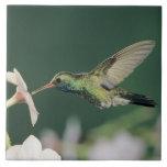 colibrí Amplio-cargado en cuenta, latirostris de C Azulejo Cuadrado Grande
