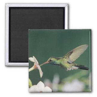 colibrí Amplio-cargado en cuenta, latirostris de C Imán Cuadrado