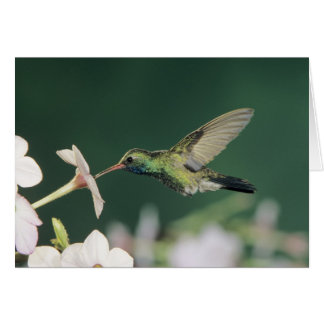 colibrí Amplio-cargado en cuenta, latirostris de C Felicitación
