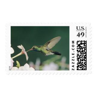colibrí Amplio-cargado en cuenta, latirostris de Sello