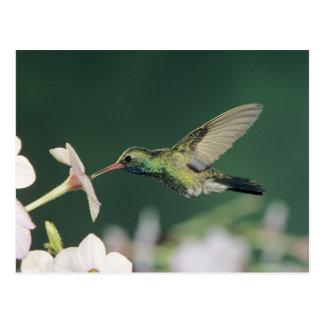 colibrí Amplio-cargado en cuenta, latirostris de Postal